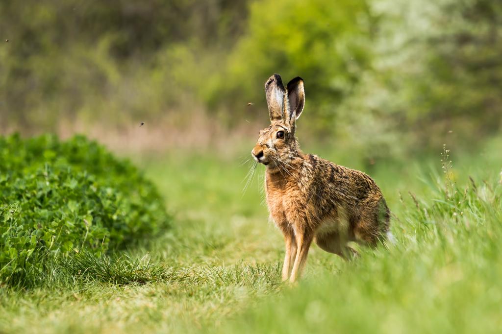 hare...shutterstock